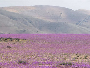 Deserto do Atacama, o mais árido do mundo, está tomado por flores