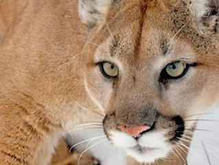 Valeu humanos: Subespécie do Puma concolor está oficialmente extinto!