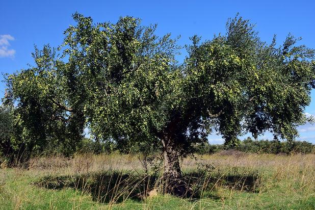 olive-tree-2846490.jpg