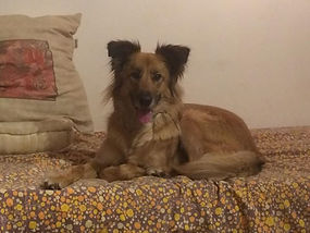 adoption de chien poils long berger oise val d'oise educateur canin