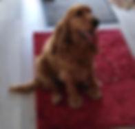 chien cocker éducation éducateur canin oise val d'oise