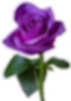 purple-rose-.png