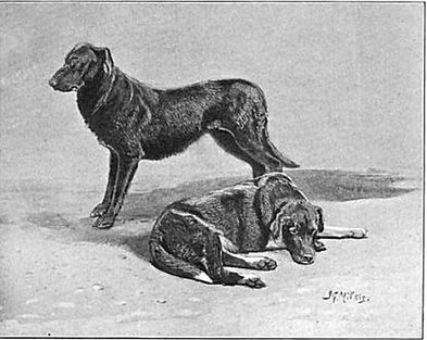half-wild-labradors (1).jpg