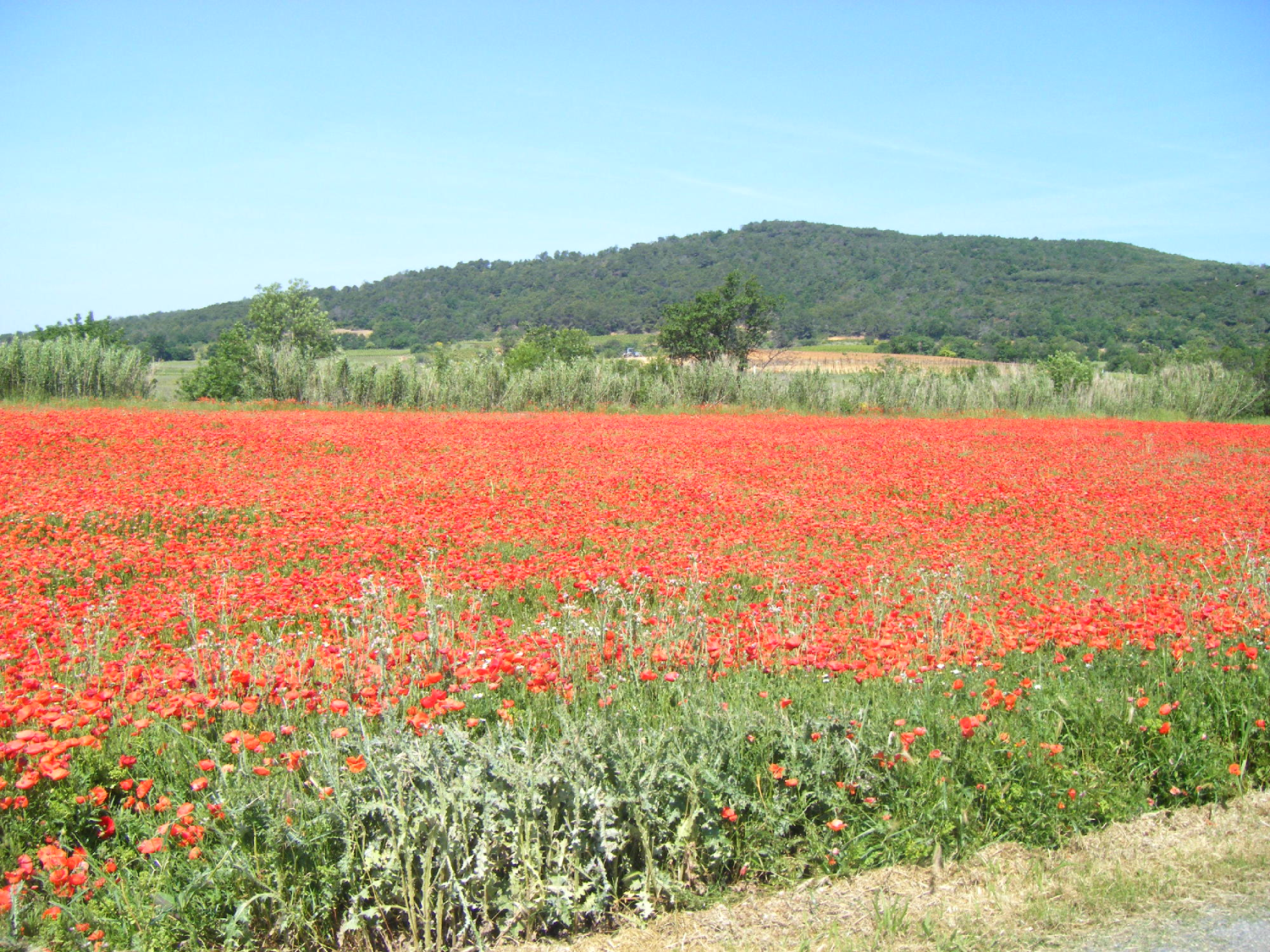 Thezan poppy fields