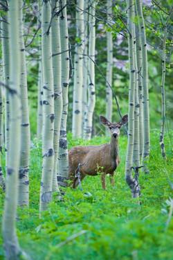 deere-deer