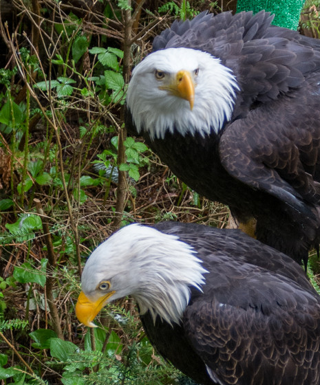 Sitka Eagle