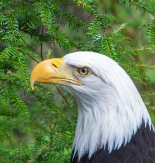 Sitka Eagles