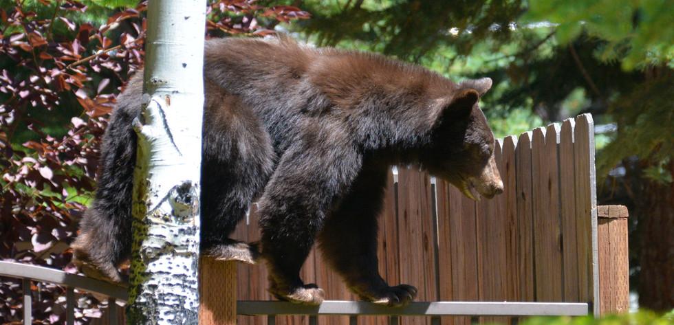 Balancing Bear Act