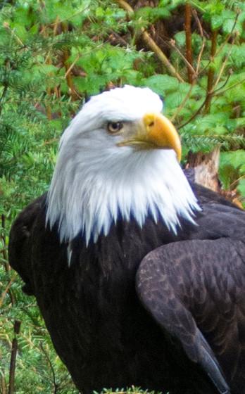 Sitka Eagle 2