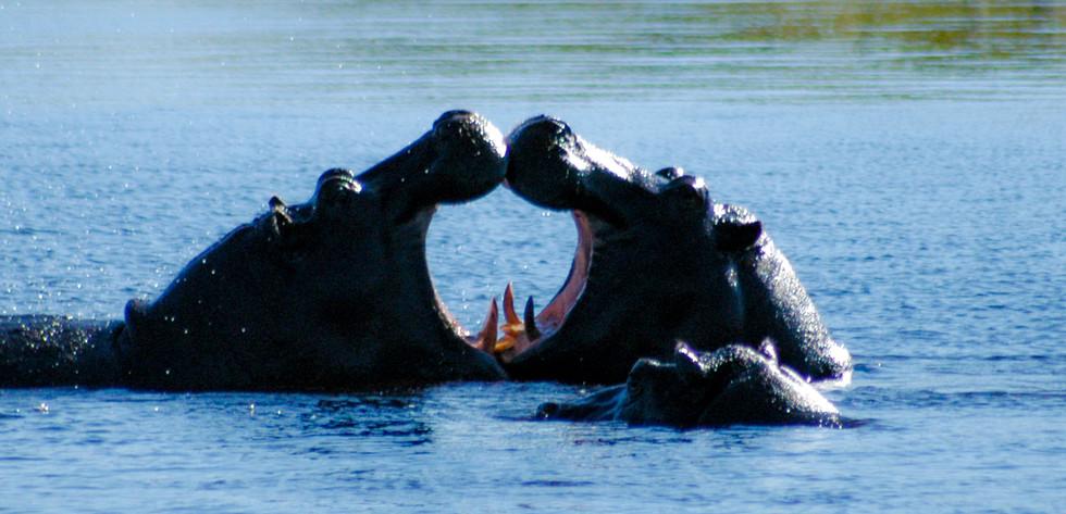 I Heart Hippos