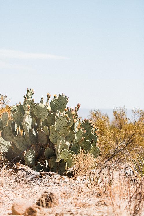 Big Bend Cactus 3