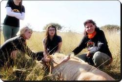Golden Wildebeest calf