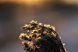 jan 24 jan-23-frost-on-queen-annes-lace-