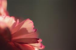 Baby Carnation