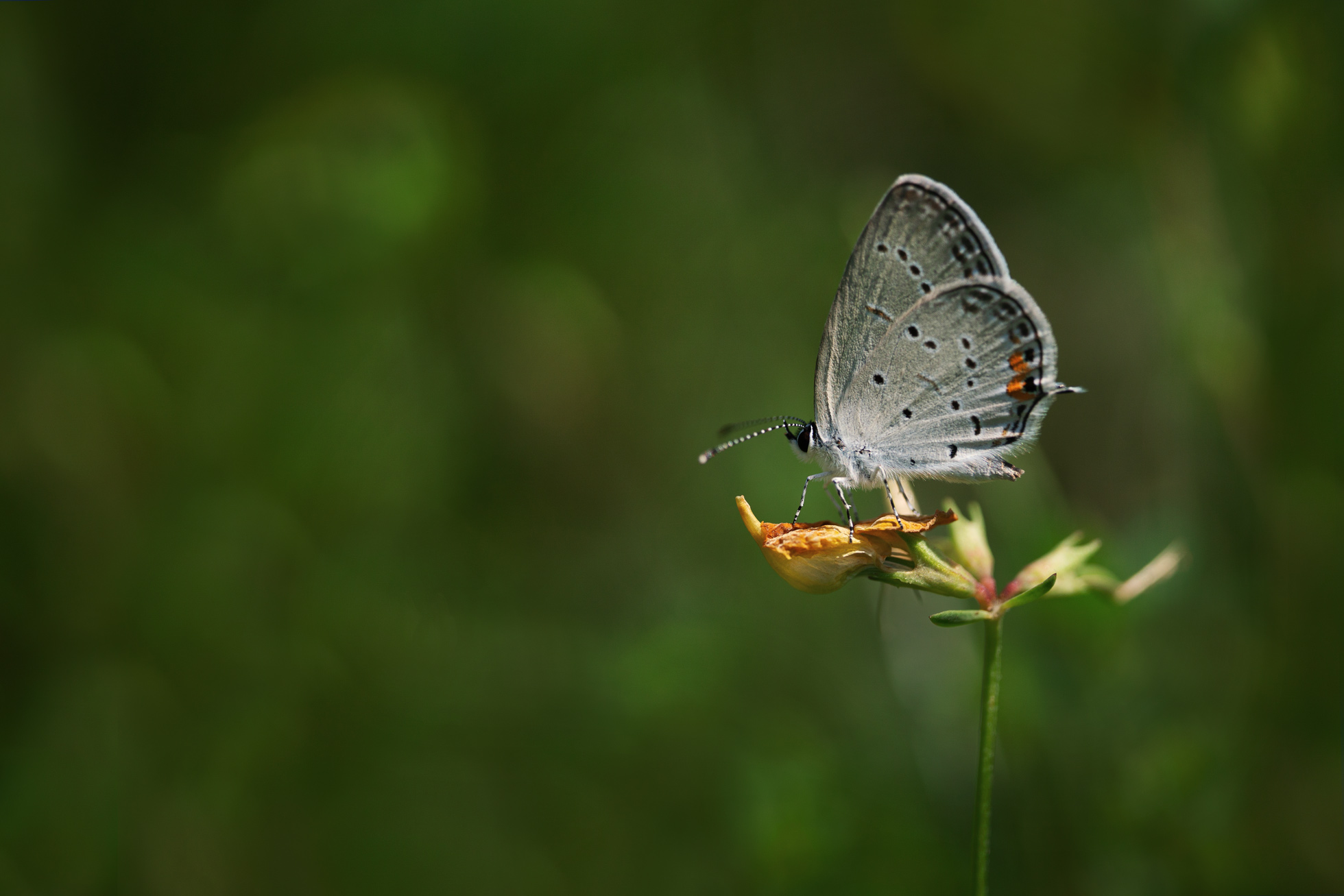 july-7-eastern-tailed-blue-butterfly