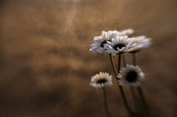 jan-12-white-bouquet-daisies-sweet-35-+-