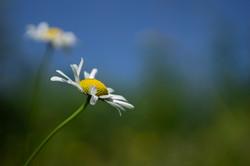 july-3-daisy
