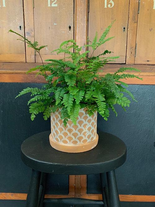 Adiantum Fern with Terracotta Pot