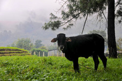a cow tolerate the rain in cotzal