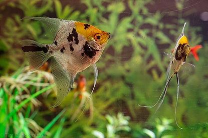 Koi Angel Fish.jpg