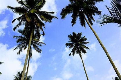 Palmen_SriLanka.jpg