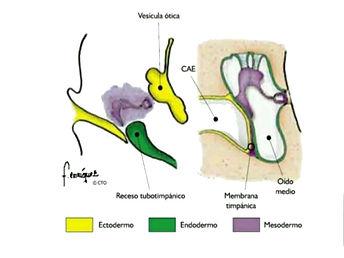 histologia-del-oido-33-638.jpg