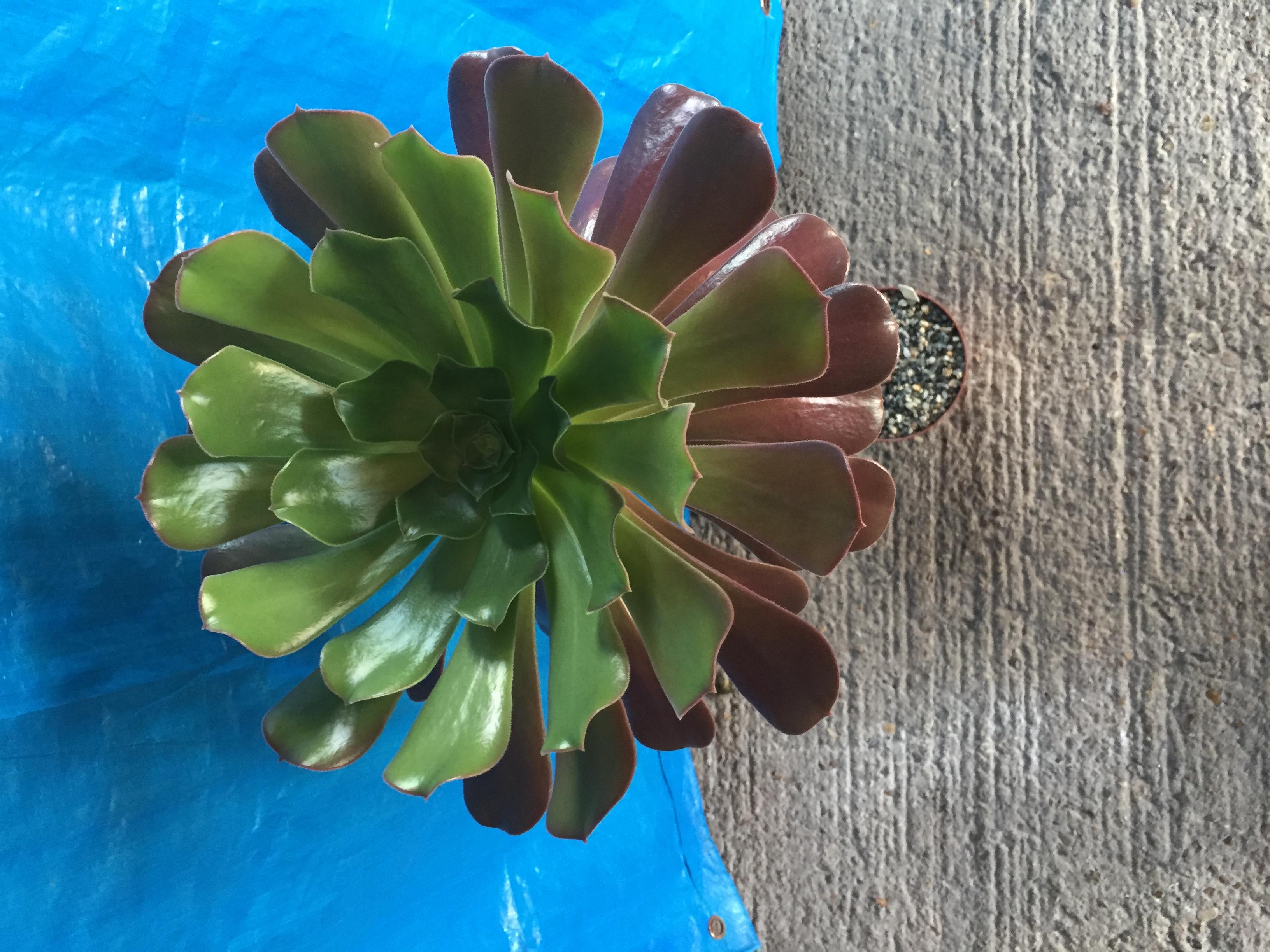 A cactus or succulent pot plant