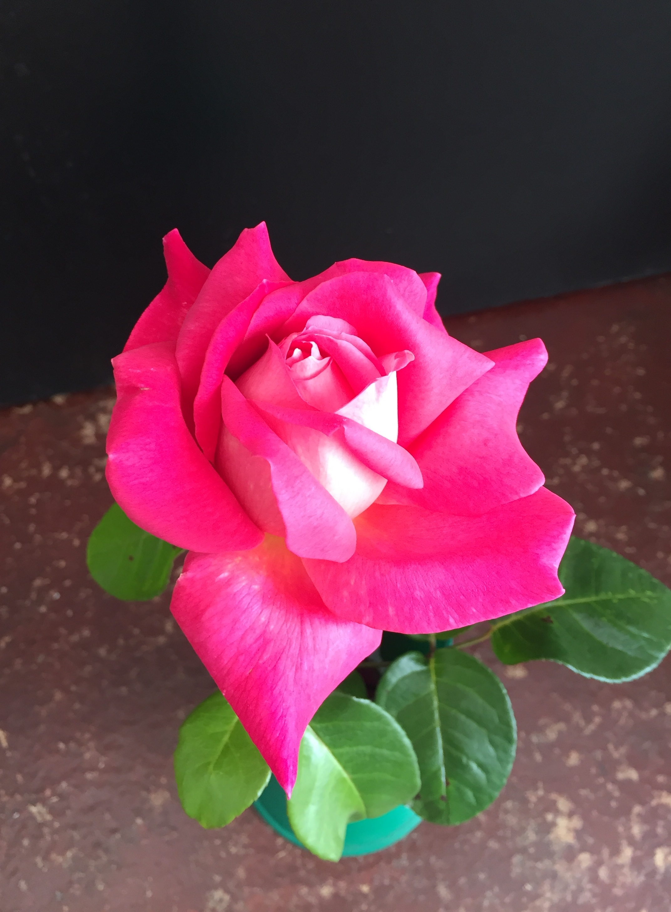 3rd Prize Rose, one specimen bloom