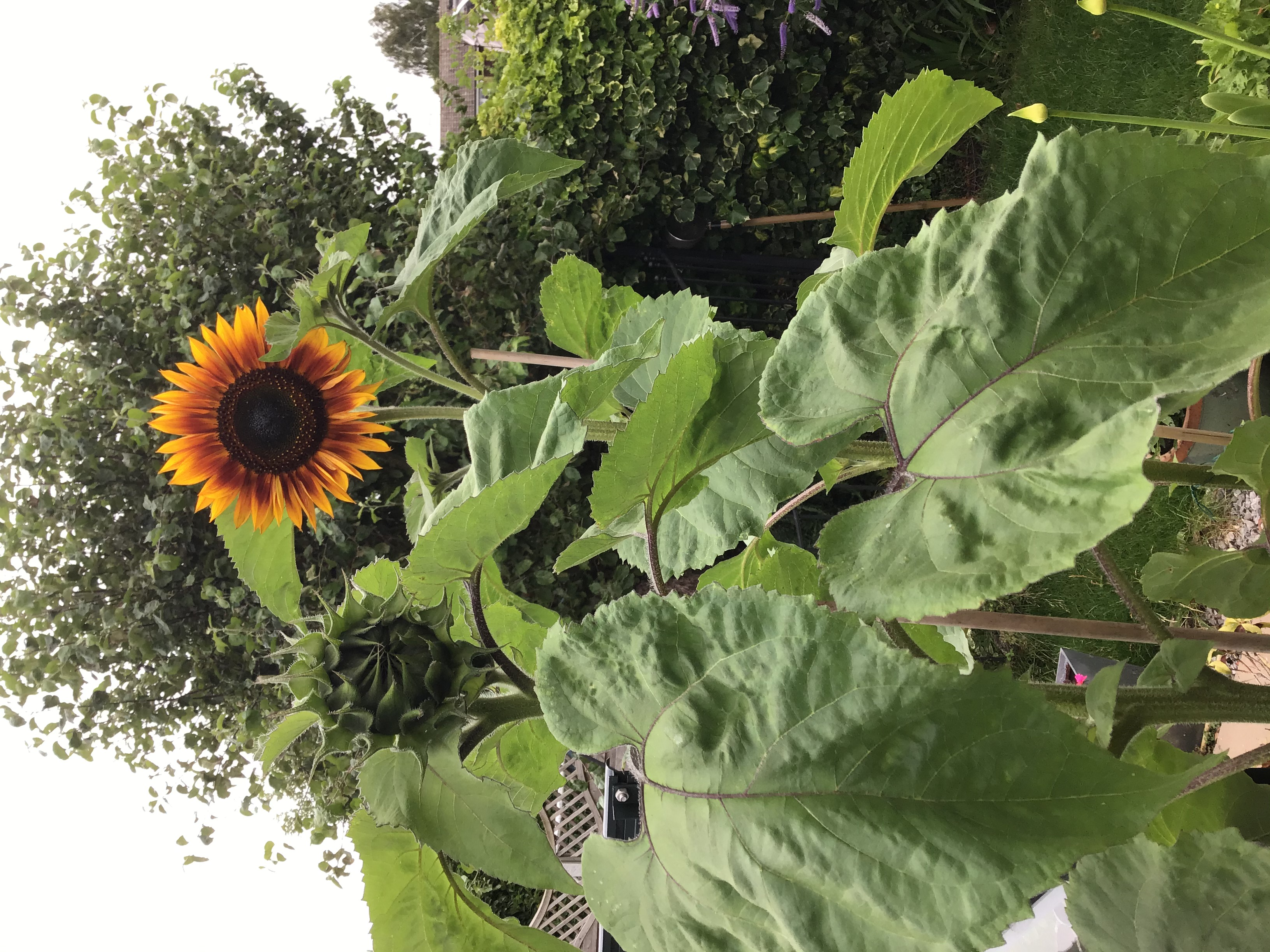 1st Prize Sunflowers from my garden/allotment