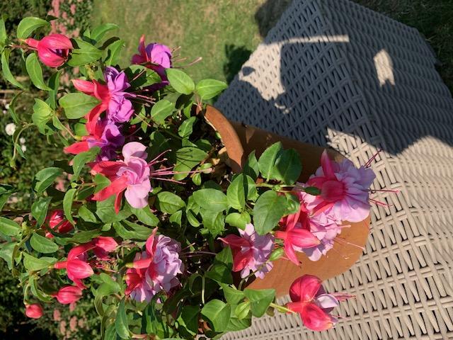 A flowering pot plant