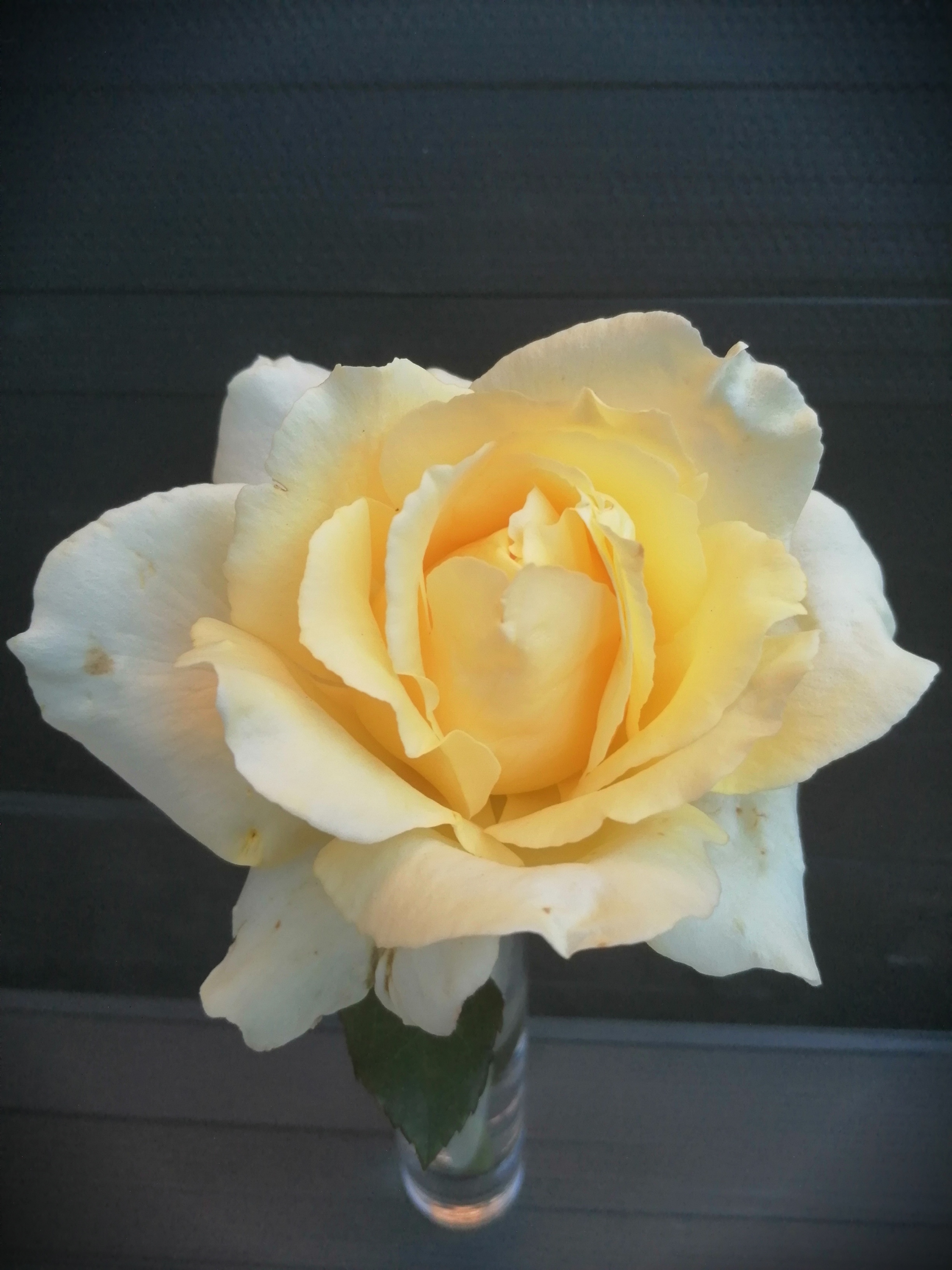 Rose, one specimen bloom