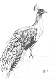 Perching peacock
