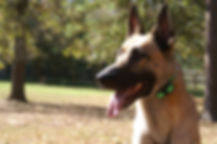 Three dogs trained in the woodlands, Tx