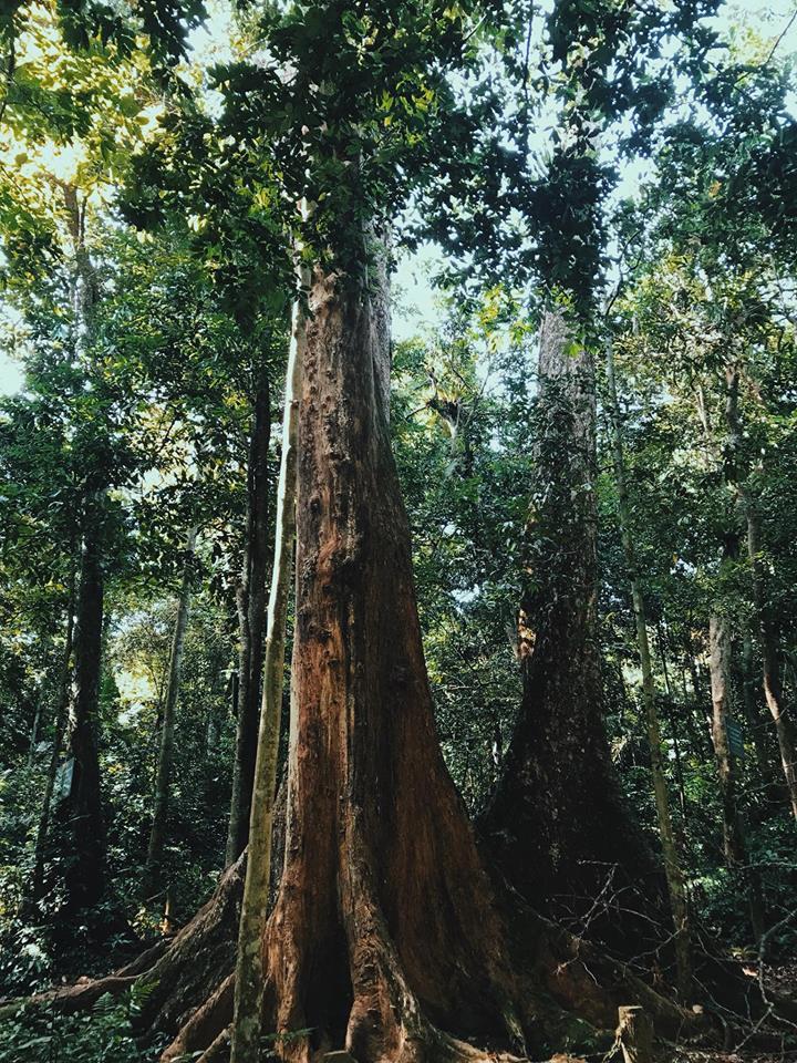 cho-chi-giant-tree-cuc-phuong-park