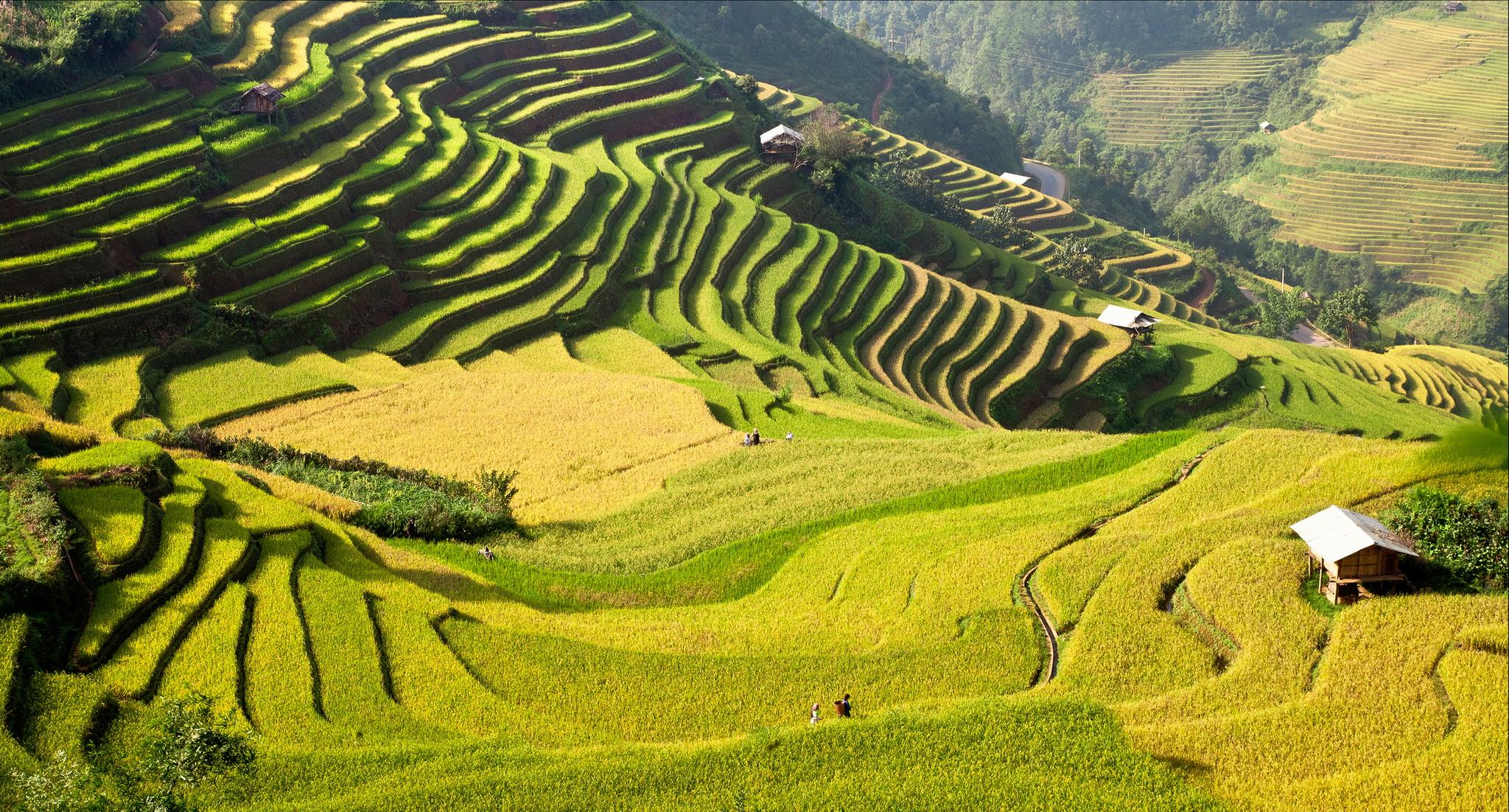 mu-cang-chai-rice-field