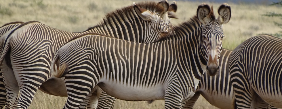 Grevy's Zebra Trust