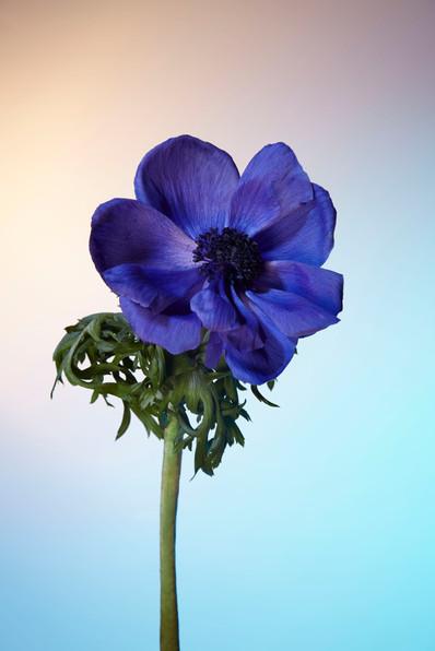 Flower Haze 3