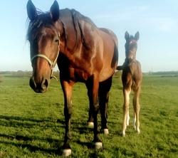 Tornade et Ivoir prepa Foal Lorrain