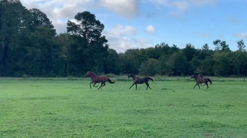 big-shots-running-in-pasture.jpg