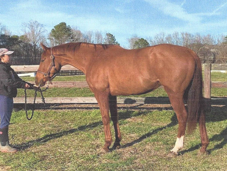 Retraining an off-the-track thoroughbred for a new career in amateur hunters