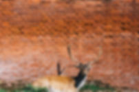 Deer Against a Red Wall