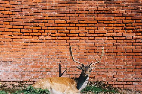 Cerf contre un mur rouge
