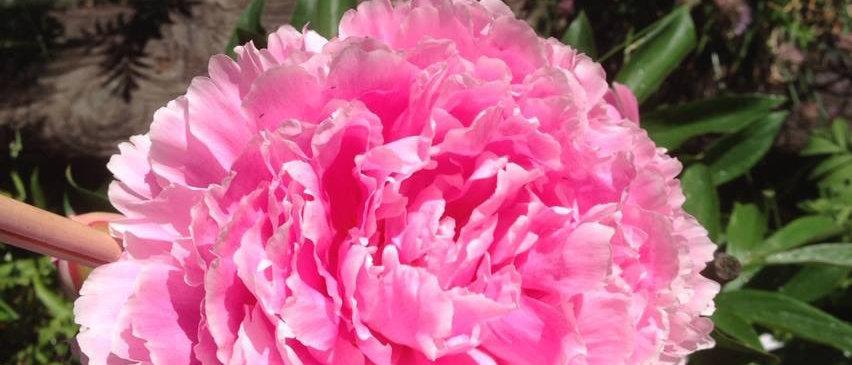 Sarah Barnhardt Peony Cut Flower
