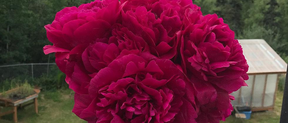 Alaska Grown Peony - Kansas Peony - Cut Flower
