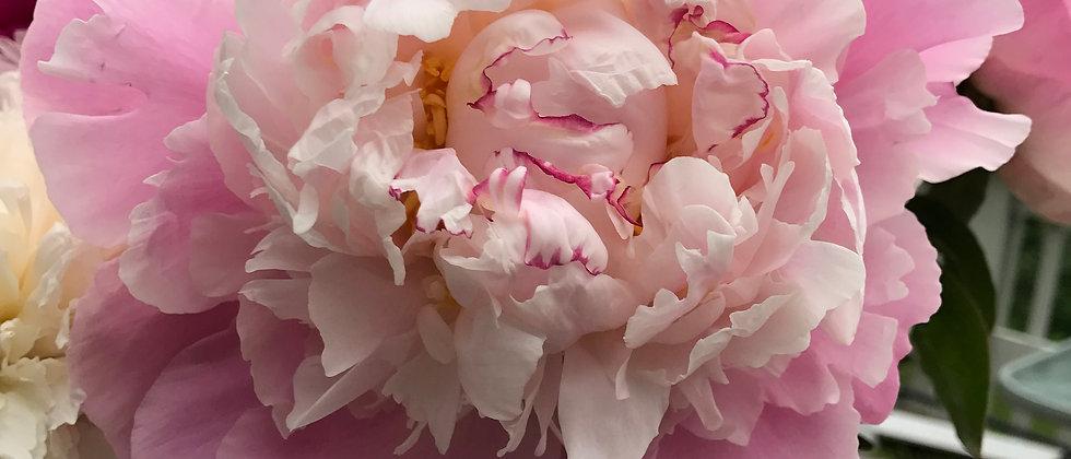 Raspberry Cream Peony Cut Flowers