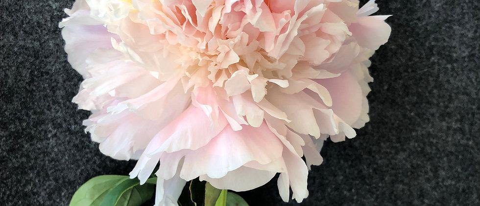 Alaska Grown Peony - My Love Cut Flower