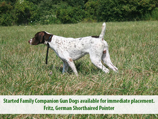 Well started family companion gun dogs now available