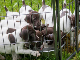 German Shorthaired Pointer (GSP) Puppies Available