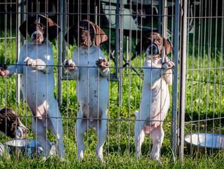 Eight week old GSP Puppies