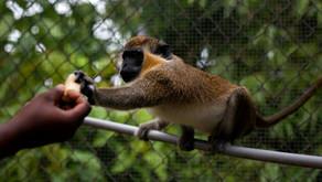 Ki Tisa: Year of the Monkey? ~ Yehoshua Steinberg